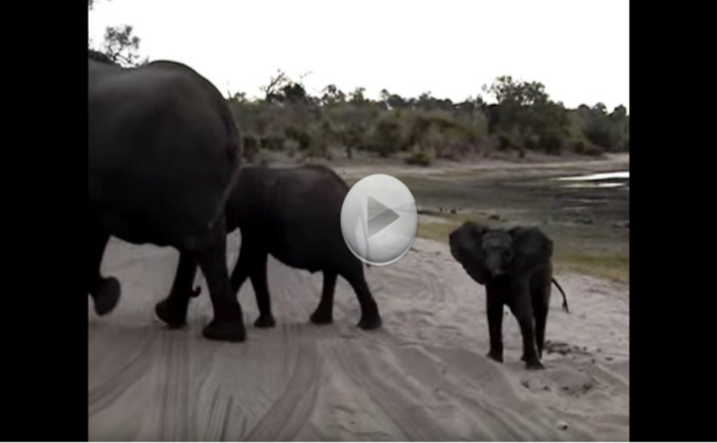 Baby Elephant Gets Scared.  You Have To Watch.  Cutest Thing Ever!