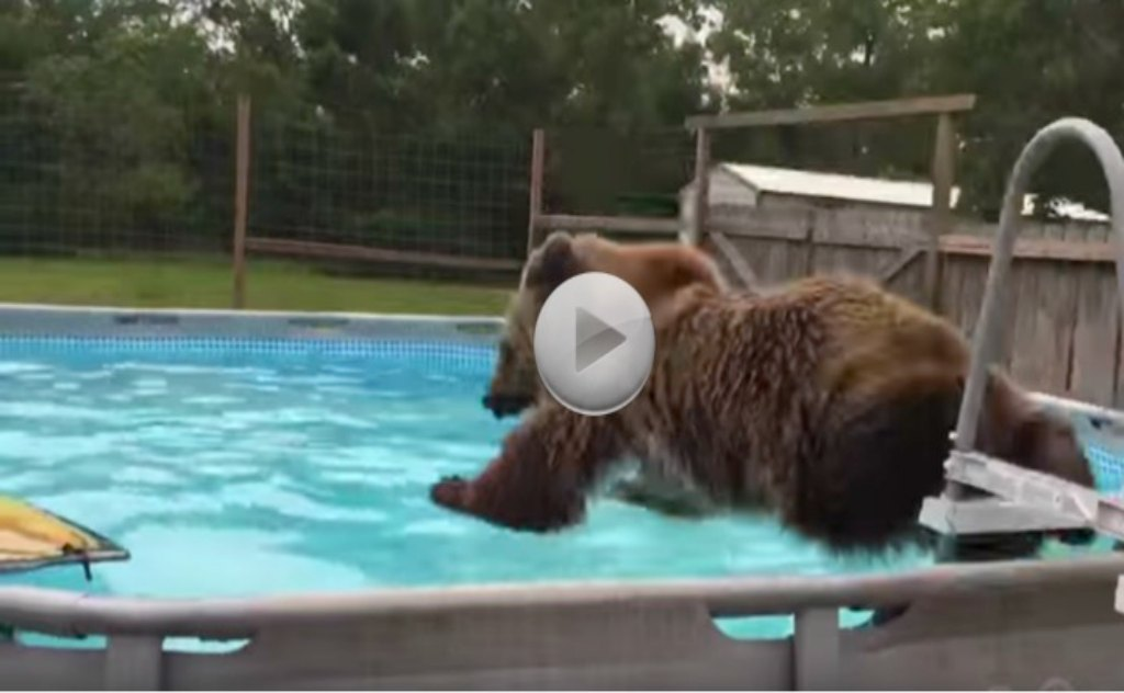 Bruiser Bear Swims.  Do You Think He Will Share The Pool. Bears Just Wanna Have Fun.