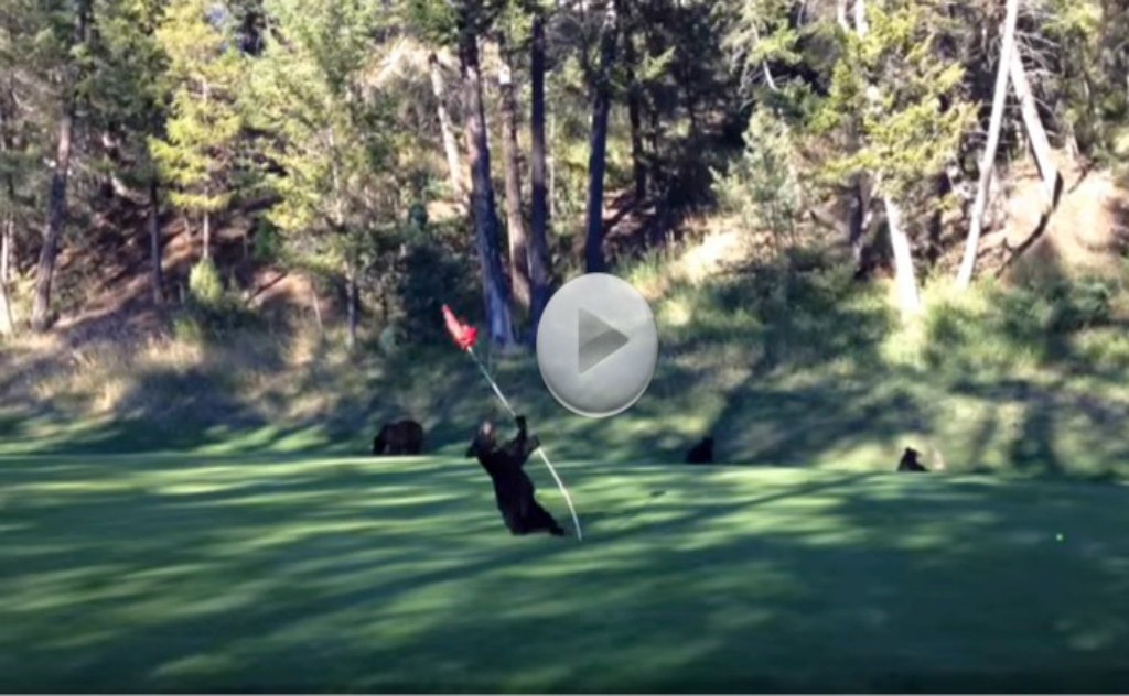This Is Hilarious. Bear Playing Capture The Flag On A Golf Course.  This Had Me Rolling!