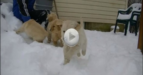 Watch These Golden Retriever Puppies Playing Together In The Snow – So Cute!