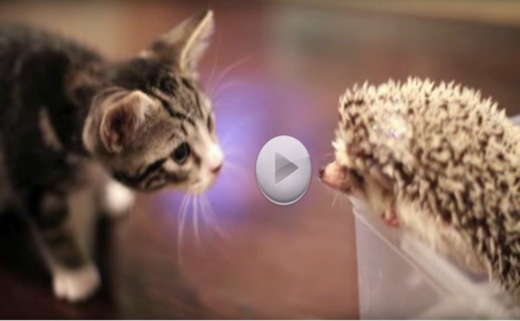 One Kitten, One Hedgehog Meet For The First Time.  So Cute!