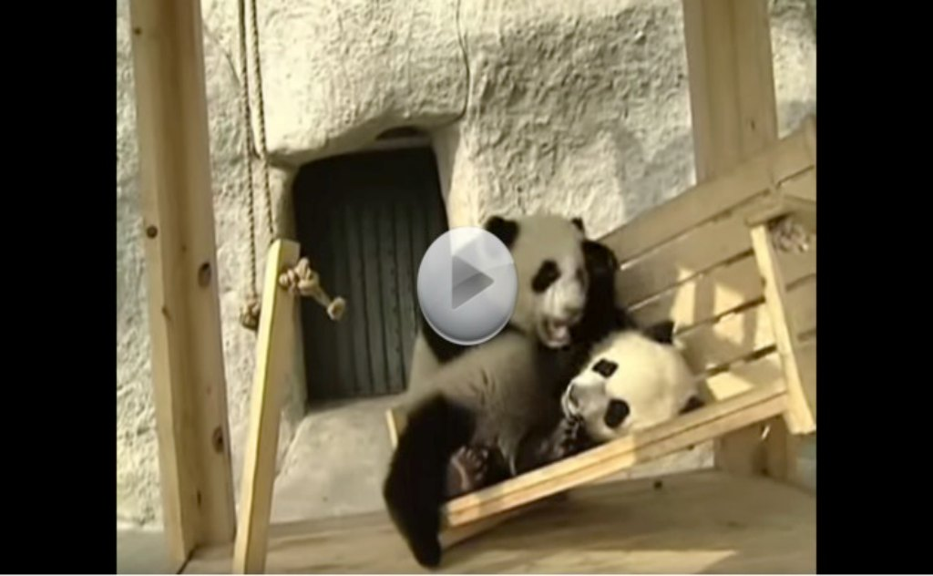 Baby Pandas Just Want To Have Fun!  Just Wait Until You See Them On The Slide.  I Love Pandas!