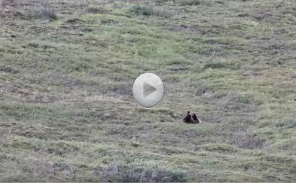 Cutest Grizzly Bear Ever!!! Rolls Down The Hill Having The Time of His Life.