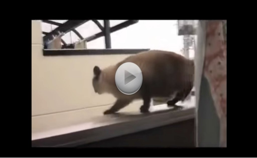 This Cat Walkes Over To The Edge.  What Happens Next Had Me Laughing Out Loud.  Poor Kitty!